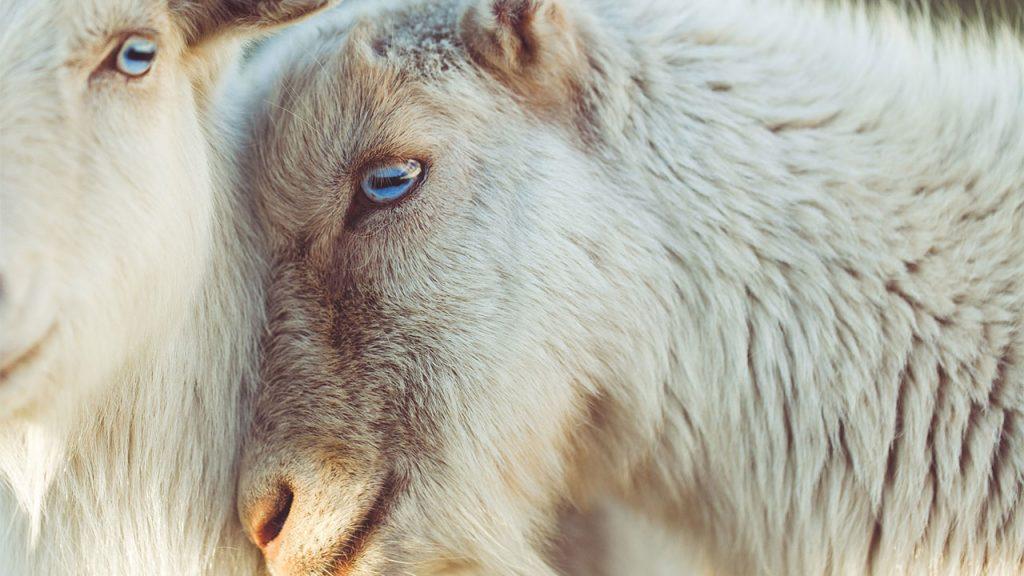 silence-ewes